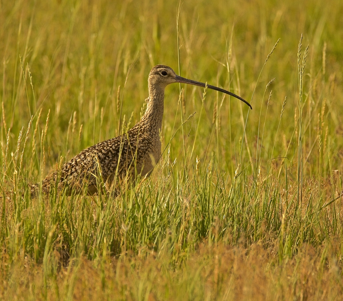 curlew, curlew photos, curlew birds, curlew bird photos, Montana birds, birding in Montana, Montana wildlife