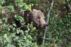 grizzly bear, brown bear, grizzly photos, brown bear photos, Wyoming wildlife, Wyoming bears, Grand Teton wildlife photos, Grand Teton National Park, united states wildlife photos