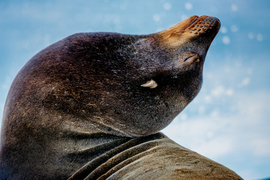 sea lion, sea lion photos, sea lion images, sea lions in California, California wildlife, San Diego wildlife, La Jolla Cove