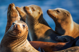sea lion, sea lion photos, sea lion images, sea lions in California, California wildlife, La Jolla