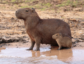 Grid capybara with pup 0520