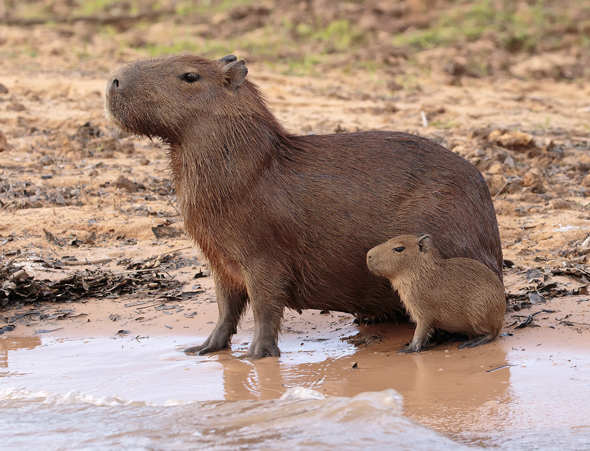 capybara, capybara photos, capybara images, capybara pictures, capybara in Brazil, capybara in the Pantanal, wildlife of the Pantanal, Pantanal wildlife, Brazil wildlife, South American wildlife, cabybara pup