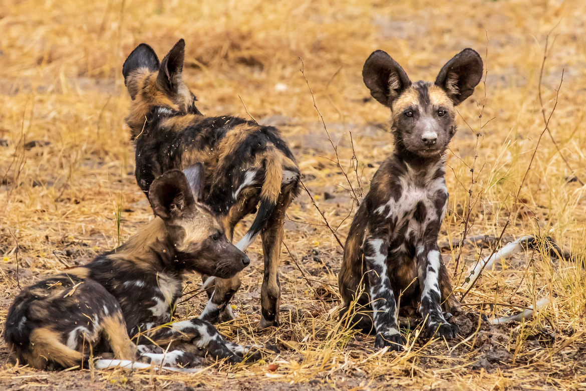wild dog, african wild dog, wild dog pups, wild dog puppies, photos of wild dogs, wild dog photos, Botswana wildlife, wild dogs in Botswana, Botswana photos, Botswana safari, Botswana safari photos, African safari photos, Santawani Private Concession
