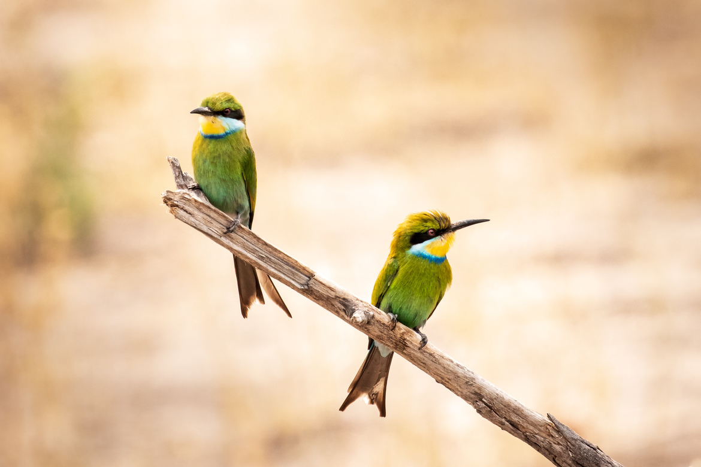 bee eater, bee eater photos, Botswana birds, Botswana wildlife, Botswana bee eater, africa birds, africa bee eater, africa wildlife, Okavango Delta, Okavango Delta wildlife, Okavango Delta birds