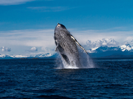 humpback whale, humpback whale photos, humpback whales in Alaska, Alaska wildlife, Alaska marine life, Alaska wildlife photos, Southeast Alaska, Tongass National Forest, Juneau