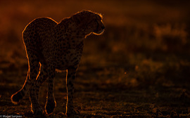Cheetah, cheetah cub photos, Tanzania, Tanzania wildlife, Tanzania safari images, cheetah images, cheetah photos, Tanzania images, Tanzania photos, Serengeti, Ndutu, Serengeti wildlife
