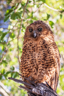 pel's fishing owl, pel's fishing owl photos, Botswana birding, birds in Botswana, Okavango Delta, birds in the Okavango Delta