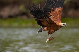 Black-collard Hawk, Black-collard Hawk photos, birding in Brazil, Brazil birds, birds in the Pantanal, birding in the Pantanal, birds with fish, birds fishing