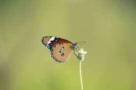 plain tiger butterfly, plain tiger butterfly photos, India wildlife, India butterflies, butterflies in India, plain tiger butterflies in India, Singur