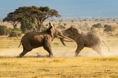 elephant, african elephant, elephant photos, african elephant photos, kenya wildlife, kenya wildlife photos, africa wildlife photos, africa wildlife, african safari photos, Amboseli wildlife, amboseli wildlife photos, amboseli national park