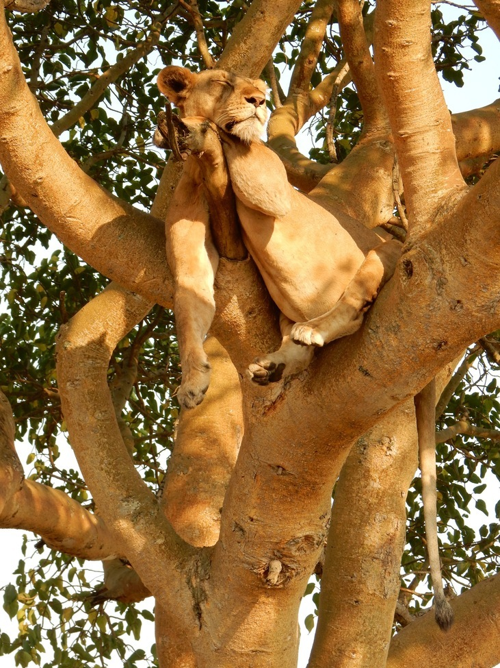 lion, lion photos, Uganda lions, lions in Uganda, Uganda wildlife, lions in trees, sleeping lions, Ishasha