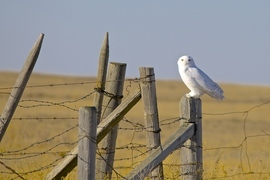snowy owl, snowy owl photos, owl, owl photos, birds in Canada, owls in Canada, snowy owls in Canada, Canada wildlife, Alberta birds, Alberta