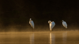 great egret, great egret photos, egret photos, egret, birding in the US, birding in Illinois, Illinois wildlife, Illinois birds