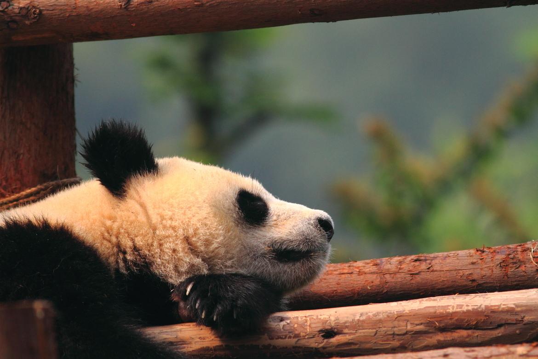 Giant panda, China, China photography, China wildlife, giant panda photography, panda photography, panda images, panda sleeping