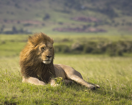 lion, lion photos, kenya wildlife, kenya wildlife photos, africa wildlife, africa wildlife photos, lions in kenya, photos of lions in kenya, kenya safari, kenya safari photos, africa safari, africa safari photo, Maasai Mara, Maasai Mara wildlife