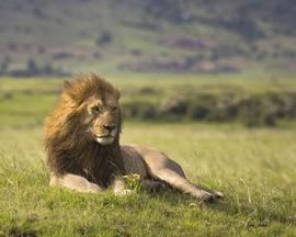 lion, lion photos, kenya wildlife, kenya wildlife photos, africa wildlife, africa wildlife photos, lions in kenya, photos of lions in kenya, kenya safari, kenya safari photos, africa safari, africa safari photo, Maasai Mara, Maasai Mara wildlife