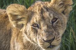 Lion, Maasai Mara Game Reserve, Kenya