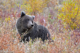 Grid coy grizzly bear