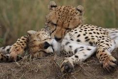 Cheetah, cheetah photos, Kenya, Kenya wildlife, Kenya safari images, cheetah images, kenya images, Maasai Mara, Maasai Mara wildlife, Maasai Mara photos