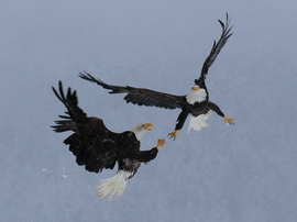 bald eagle, bald eagle photos, bald eagle images, united states wildlife, american wildlife photos, american birds, birds in the united states, bald eagles in america, America's national bird, birding in Alaska, Alaska wildlife