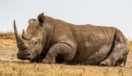 rhino, rhino photos, rhinos in Africa, rhino in Kenya, Lewa Conservancy, wildlife in Lewa, rhinos in Lewa Conservancy