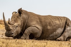 rhino, rhino photos, rhinos in Africa, rhino in Kenya, Lewa Conservancy, wildlife in Lewa, rhinos in Lewa Conservancy