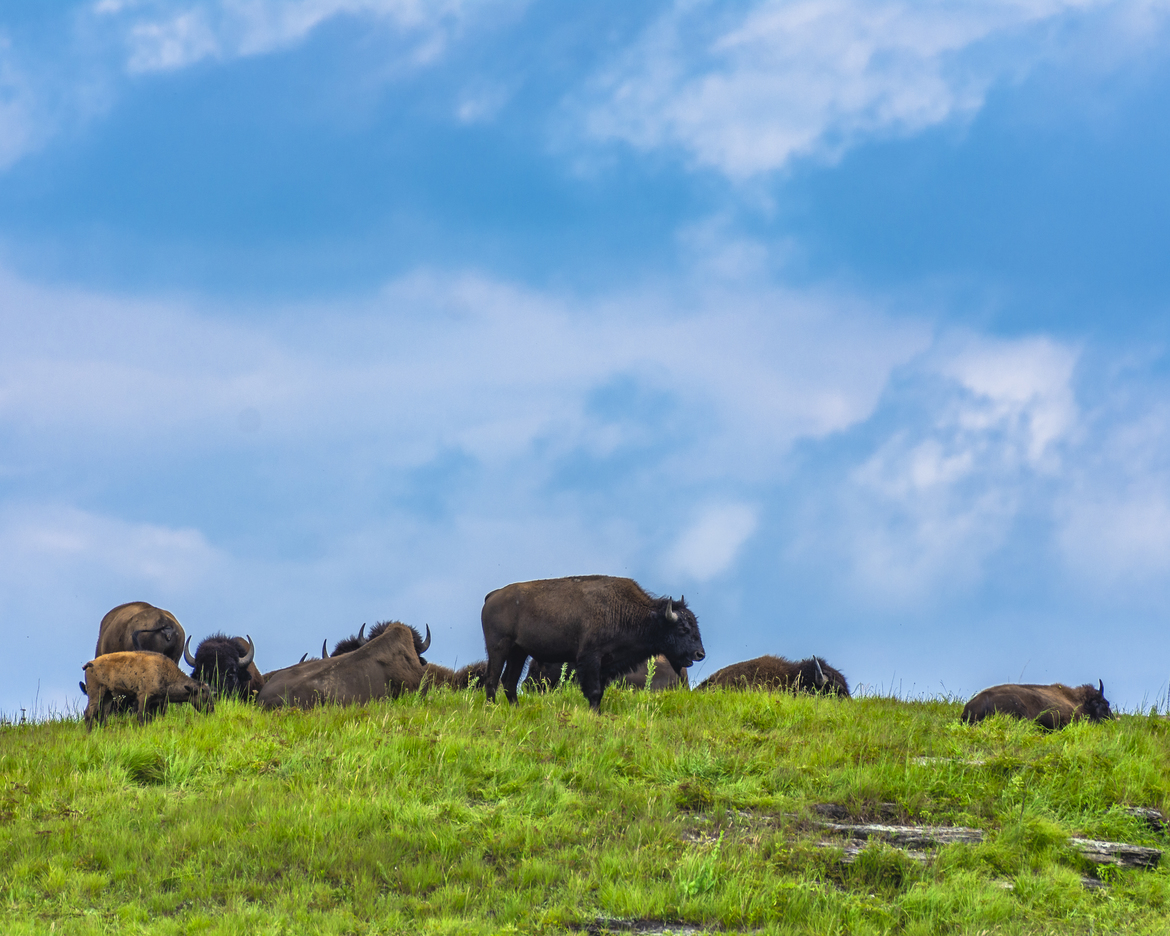 bison, american bison, buffalo, american buffalo, bison in the US,
