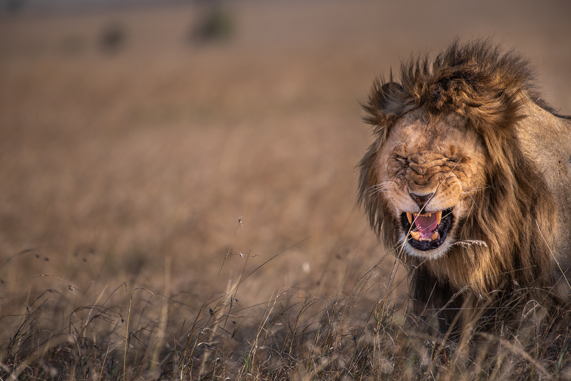 lion, African lion, lions in Africa, lions in Kenya, lions in the Maasai Mara, Kenya wildlife, Kenya big cats, big cats in the Maasai Mara