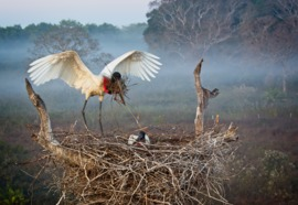 Grid jabiru stork padding his nest