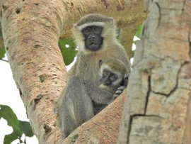 vervet monkey, vervet monkey photos, baby vervet monkeys, baby vervet photos, Uganda wildlife, primates in Uganda, monkeys in Uganda, Queen Elizabeth National Park