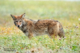 coyote, coyote photos, coyotes in Alaska, Alaska wildlife