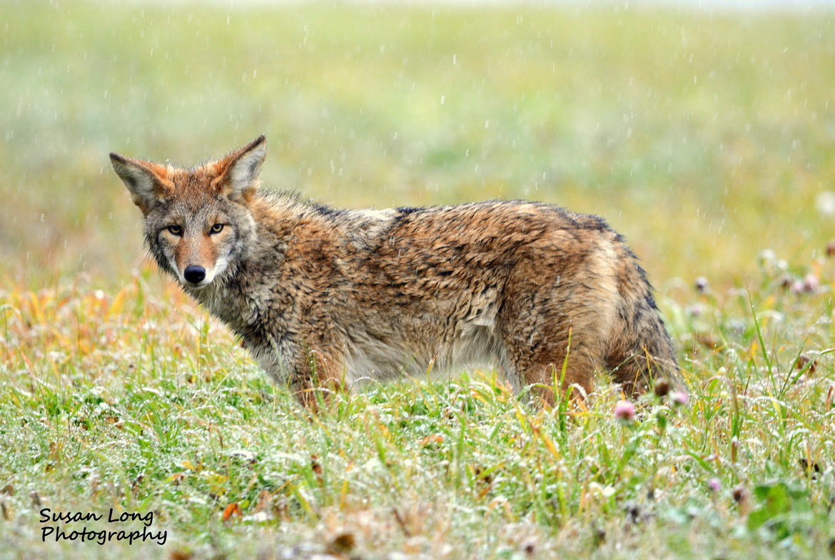 coyote, coyote photos, coyotes in Alaska, Alaska wildlife