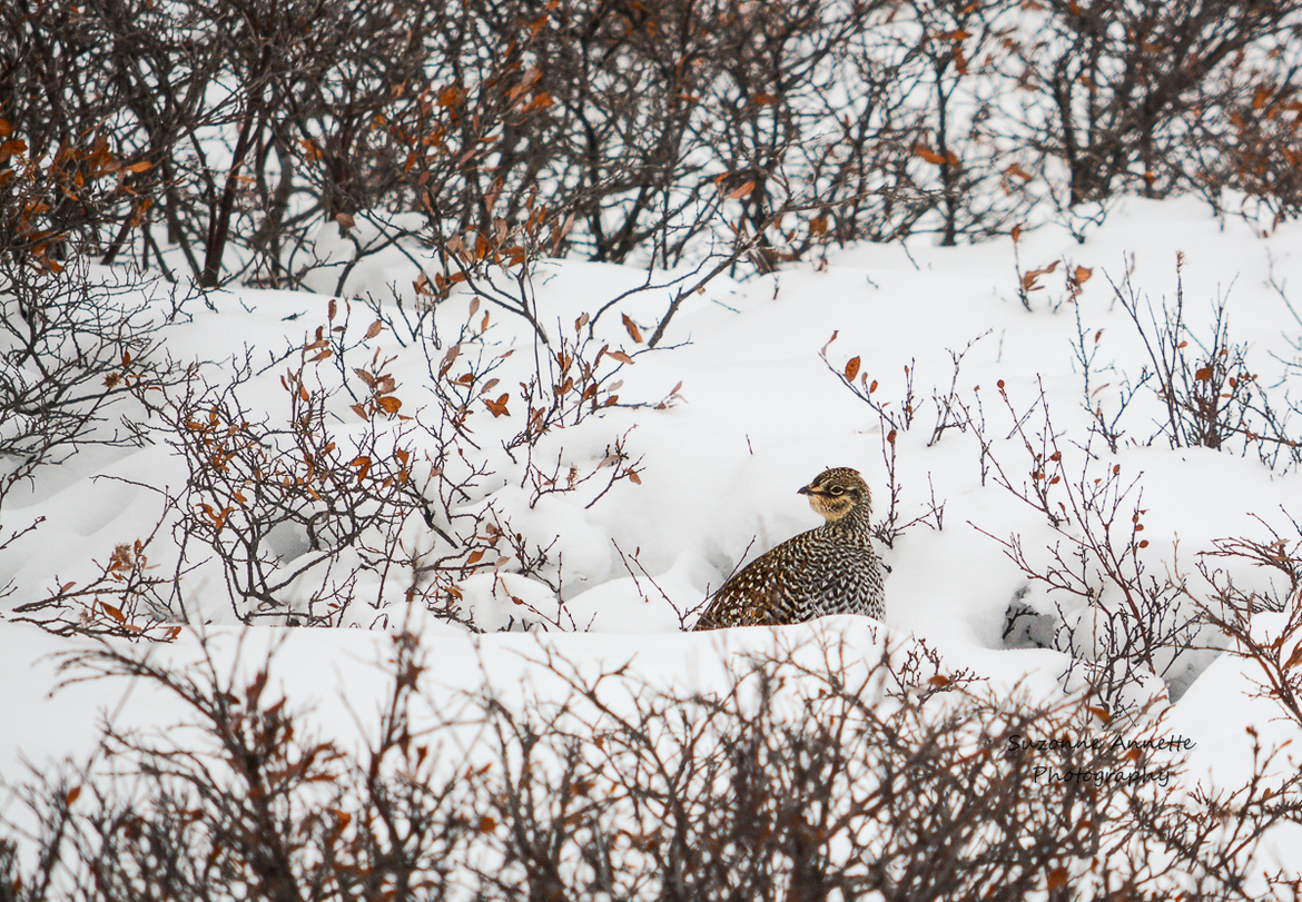 spruce grouse, spruce grouse photos, ptarmigan in Churchill, birding in Churchill, birding in Canada, birding in Manitoba, Churchill wildlife