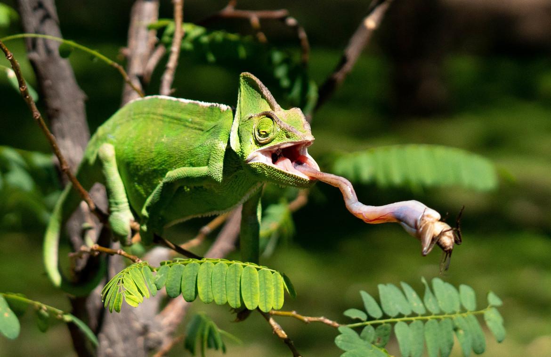 chameleon, chameleon photos, chameleons in South Africa, South Africa photos, South Africa wildlife, South Africa wildlife photos