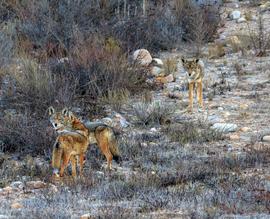 coyote, coyote photos, coyotes in California, California wildlife
