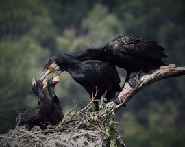 cormorant, cormorant photos, cormorants in India, birding in India, birds in India, cormorant chicks, black cormorants