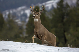 deer, deer photos, deer images, buck, buck photos, buck images, united states wildlife, Washington wildlife, white-tailed deer, white-tailed deer photos