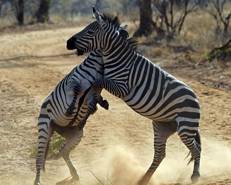 zebra, zebra images, zebra photos, tanzania wildlife, tanzania wildlife images, tanzania wildlife photos, zebras in tanzania, african safari wildlife, tanzania safari wildlife, tanzania safari wildlife photos, tarangire national park, tarangire wildlife