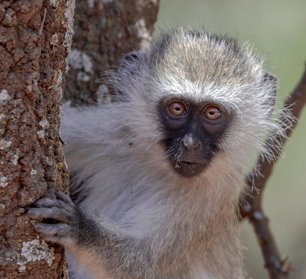vervet monkey, vervet monkey photos, monkeys in Africa, monkeys in Kenya, Kenya wildlife, Kenya primates, vervet monkeys in Lewa Conservancy, Lewa Conservancy