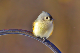 titmouse, titmouse photos, tufted titmouse, tufted titmouse photos, Illinois birding, birding in Illinois, birds in Illinois