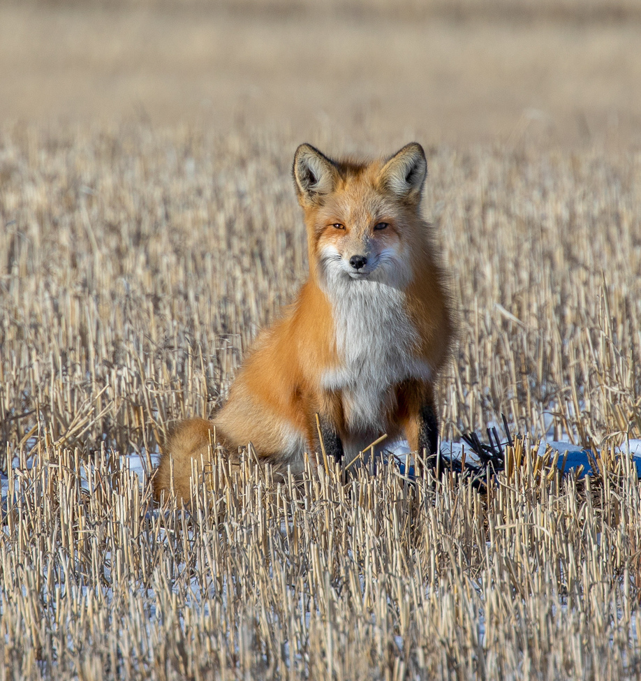 red fox, red fox photos, red foxes in Canada, Canada wildlife, foxes in Canada, Alberta wildlife, foxes in Alberta