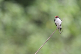 wire tailed swallow, wire tailed swallow photos, wire-tailed swallow, wire-tailed swallow photos, birding in India, swallows in India, India birds, birds in India, India wildlife, Maharashtra