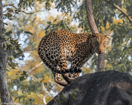 leopard, leopard photos, India, India wildlife, Pench National Park, leopards in India
