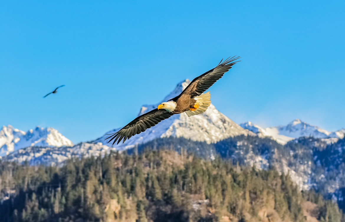 bald eagle, bald eagle photos, bald eagles in Alaska, Alaska wildlife, Alaska birding, birding in Alaska,