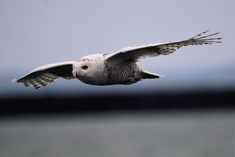 snowy owl, snowy owl photos, owl, owl photos, birds in the US, owls in the US, snowy owls in the US, New York wildlife, New York birds, Buffalo Harbor State Park, snowy owls in New York, birding in New York