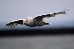 snowy owl, snowy owl photos, owl, owl photos, birds in the US, owls in the US, snowy owls in the US, New York wildlife, New York birds, Buffalo Harbor State Park, snowy owls in New York, birding in New York