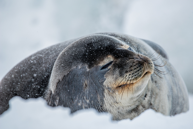 weddell seal, weddell seal photos, seals in Antarctica, weddell seal in Antarctica, Neko Harbor