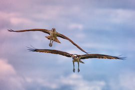 osprey, osprey photos, Florida birding, birding in Florida, birds in Florida