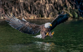 Grid bald eagle perfect3finalluminar