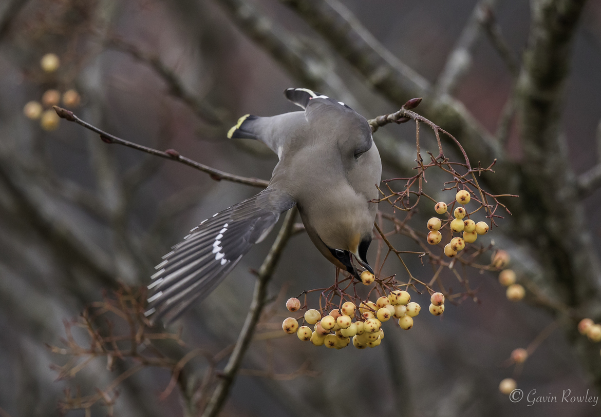 Waxwing, Waxwings, United Kingdom, Birding, Photos of Waxwings, Waxwing Images